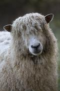 Cotswold Lion breed of sheep, Cotswolds, Gloucestershire, England, United Stock Photos