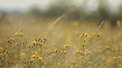 Beautiful yellow field in mountains.Close-up Stock Footage