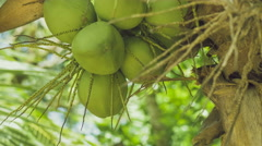 Coconat Bunch on a Palm Tree, Close up, Thailand, Asia Stock Footage