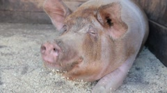 Big dirty pig on the farm Stock Footage