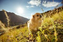 Funny animal dog pekingese mountains Stock Illustration