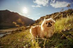 Funny animal dog pekingese mountains Stock Photos