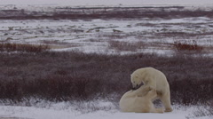 Slow motion - Polar bears wrestle at edge of willows on cloudy day Stock Footage
