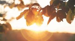 Autumn leaves of hornbeam moving on sunset background. 4K Stock Footage