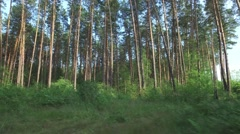 Camera movement of along pine forest with patches of light from sun Stock Footage
