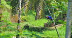 Indonesian farmer working on rice terraces near popular tourist place Ubud in Stock Footage