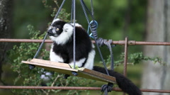 Black-and-White Ruffed Lemur Stock Footage