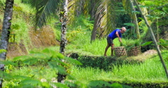 Local farmer working on rice field terraces loading wicker baskets with green Stock Footage