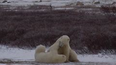 Slow motion - polar bears fight in the wind blown tundra Stock Footage