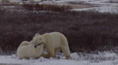 Slow motion - Polar bears bight and clash in wind and tundra snow Stock Footage