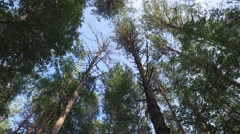 Crones of trees the bottom view of sky contrasts in forest Stock Footage