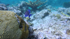 Brain coral and blue tangs Stock Footage