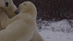Slow motion - fighting polar bears test each others strength bight hit Stock Footage