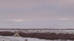 Slow motion - wide polar bears battling on barren tundra Stock Footage