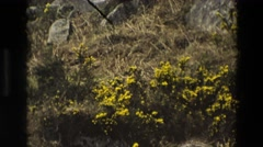 1969: beautiful nature and yellow flowers IRELAND Stock Footage