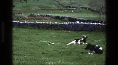 1969: some cows resting lying in a rural area with plenty of grass IRELAND Stock Footage