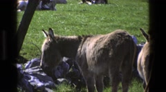 1969: donkeys having a casual time hanging around in the zoo's bright green Stock Footage
