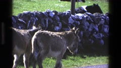 1969: two donkeys walking down a paved path on a sunny day with a rock wall  Stock Footage