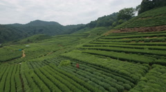 Flying over famous tea gardens in Hangzhou, agriculture China Stock Footage