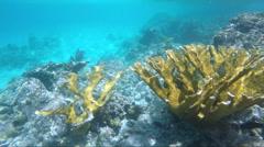 Healthy Elk Horn Coral Stock Footage