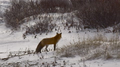 Slow motion - Red fox in sunlight runs towards camera hunting Stock Footage