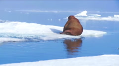 A giant walrus sits on an iceberg. Stock Footage