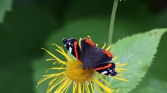 Red Admiral (Vanessa atalanta) butterfly collects nectar on the flower Stock Footage