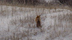 Slow motion - Red fox hunting voles in snowy grass in winter Stock Footage