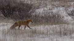 Red fox hunting voles in breeze grass and snow in winter Stock Footage