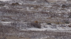 Tilt up from red fox running through snowy willows to polar bear on ice Stock Footage