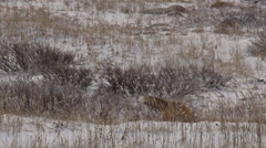 Red fox sticks tail in air as breeze blows grass as it hunts in snow Stock Footage