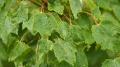 Raindrops falling on maple tree leafs Stock Footage