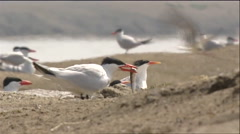 Gulls and terns near a watering area. Stock Footage