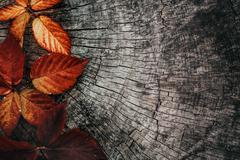Autumn leaves. Fall red leaves on tree bark Kuvituskuvat