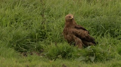 Lesser spotted Eagle on a meadow Stock Footage