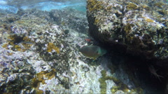 Parrot fish on shallow reef Stock Footage