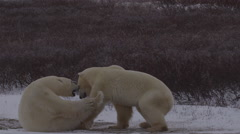 Slow motion - polar bears play rough and pounce and hit Stock Footage