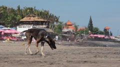 Balinese Dog Walking on the Beach Stock Footage
