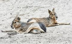 Patagonian mara is a relatively large rodent in the mara genus Stock Photos