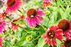 Bumble-bee and red rudbeckia flowers in the garden, vibrant colors Stock Photos