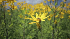 Jerusalem artichoke yellow flower growing in the field Stock Footage