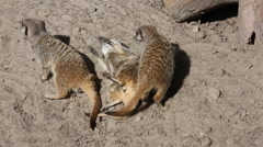 Meerkats, orSuricates, having a fight Stock Footage