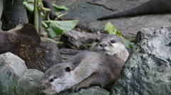 Small clawed otter resting on rock Stock Footage