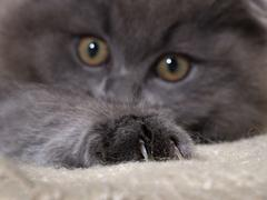Cat paw with claws. The fur is gray, fluffy Stock Photos