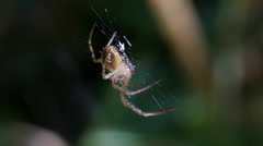 Meta Segmentata Spider on web Stock Footage