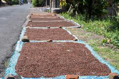 Fresh cloves scattered to dry to sun rays in Indonesia Stock Photos