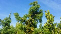 Young Common juniper, Juniperus communis tree Stock Footage
