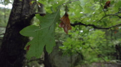Detail of Wet Oak Leaf in Shallow Focus Stock Footage