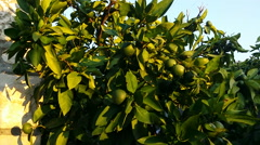 Green mandarin oranges on the tree, 1080p Stock Footage