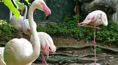 Herd of pink flamingo bird animal in swamp Stock Footage